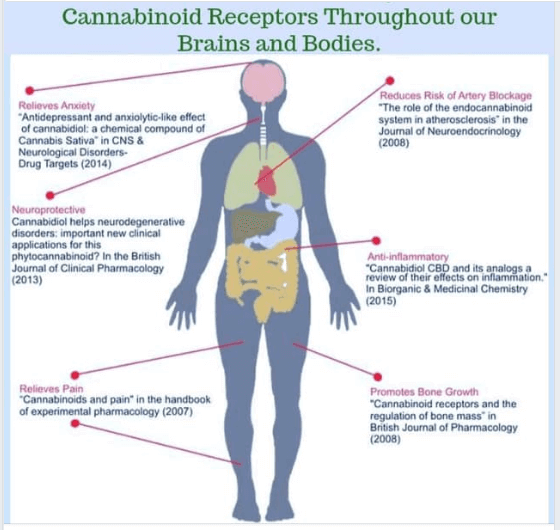 Human Body Showing Existing Cannabiniod Receptors for CBD and CBDA