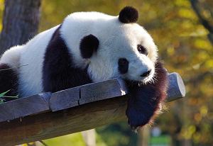 Panda lying On A Tree Limb Untouched Photo For Photo Optimizer Online Quality Demo